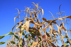 Harvested Corn Stalk Royalty Free Stock Photography