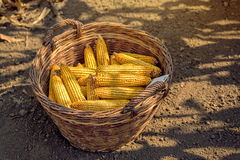 Harvested corn in wicker basket. Freshly picked maize ears out in agricultural field, selective focus Royalty Free Stock Photo