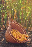 Harvested corn in wicker basket. Freshly picked maize ears out in agricultural field, selective focus Stock Photo