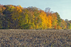 Harvested Corncrop with Fall foliage Royalty Free Stock Photo
