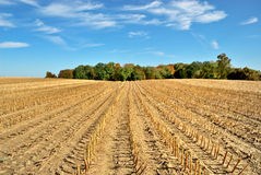 Harvested Cornfield. Freshly harvested cornfield in autumn Royalty Free Stock Image
