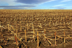 Harvested cornfield in October. Cornfield with stumps of stalks on brown earth in October Stock Photography
