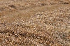Harvested Cornfield Stock Photo
