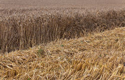 Harvested Cornfield Stock Images