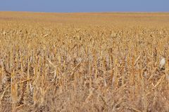 Harvested Cornfield Stock Image