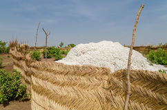 Free Harvested Cotton Being Piled Up In Traditional Reed Stockage Under The Blue African Sky In Benin Stock Photography - 81185222