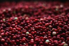 Harvested cranberries Royalty Free Stock Image