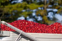 Harvested cranberries in a truck Royalty Free Stock Images