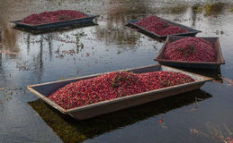 Harvested Cranberry Floating Before Pick-up Stock Images