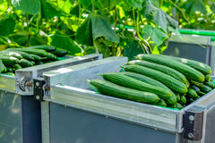 Harvested cucumbers piled in a picking trolley Stock Photo