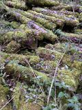 Feather-like moss fronds covering sawn logs royalty free stock photo