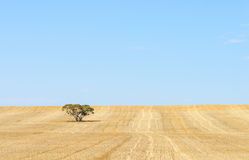 Harvested Field, Blue Sky, Background. A harvested wheat paddock in Australia filled with golden stubble and one gum tree against a blue sky Stock Photography
