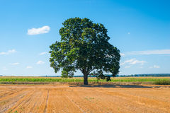 Harvested field and one tree royalty free stock image