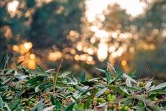 Harvested fresh olives. Stock Images