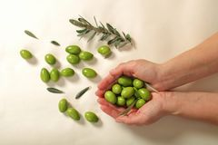 Harvested fresh olives in the hands of young woman. Over white background Royalty Free Stock Images