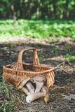 Harvested fresh white mushrooms in a sunny forest Royalty Free Stock Images