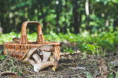 Harvested fresh white mushrooms in a sunny forest Royalty Free Stock Photography