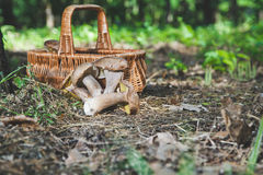 Harvested fresh white mushrooms in a sunny forest Stock Photos