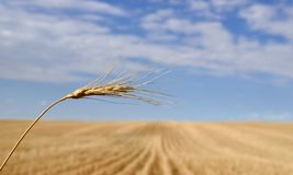 Harvested Grain Field Canadian Prairies royalty free stock photography