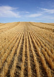 Harvested Grain Field Stock Photography