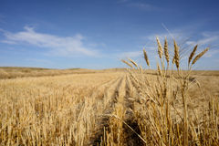 Harvested Grain Field Stock Photos