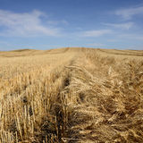 Harvested Grain Field Royalty Free Stock Image