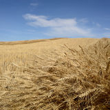 Harvested Grain Field. Landscape featuring a harvested grain field Stock Photography