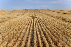 Harvested Grain Field. Landscape featuring a harvested grain field Stock Images