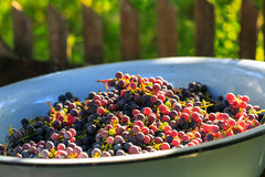 Harvested grape harvest. Many bunches of dark grapes in a bowl Royalty Free Stock Photo