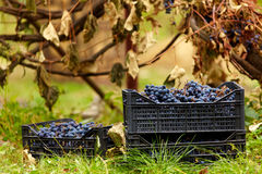 Harvested grapes in cases Royalty Free Stock Photo