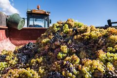 Harvested grapes in a truck container Royalty Free Stock Photo