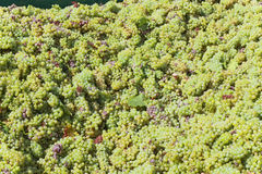 Harvested grapes. Harvested white grapes of Chardonnay stock photo