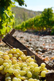 Harvested green grapes in  wooden crates at vineyard autumn time Stock Image