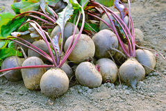 Harvested grown beetroot Stock Image