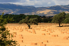 Harvested of hay. Harvested hay bales in Southern California oak grove waiting to be picked up and shipped out. Santa Ynez mountain range in the background Stock Images