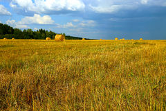 Harvested hay rolls lying on the field Royalty Free Stock Images