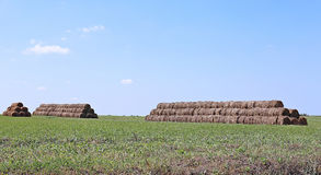 Harvested hay rolls lying on the field Royalty Free Stock Image