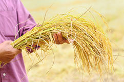 Harvested jasmine rice. Farmer is hold harvested jasmine rice in field Stock Images