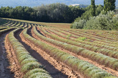 Harvested Lavender Field Rows in Summer, Provence Royalty Free Stock Images