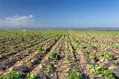 Harvested Lettuce Fields in Salinas Valley Stock Photos