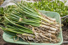 Welsh onions. Harvested lot of welsh onions on the wheelbarrow Stock Images