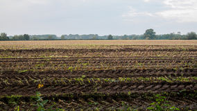 Harvested maize field Stock Images