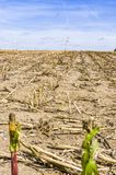 Harvested maize field, stubble field after harvest with a single stock photography