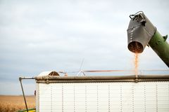 Harvested maize kernels emptying from a combine Stock Photo