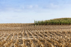 Harvested mature corn Stock Images