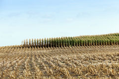 Harvested mature corn Stock Photo
