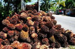 Oil Palm Fruit. Harvested oil palm fruits avaiting to be trasported to oil mil in Mexico Stock Photos