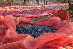 Harvested olives. In iznik, turkey stock photos