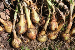 Harvested onions. Fresh picked onions right out of the ground Royalty Free Stock Image