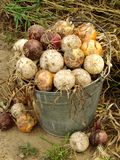 Harvested onions Royalty Free Stock Photos